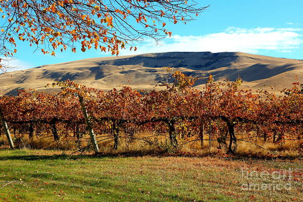 Photograph - Autumn Vineyard In The Valley by Carol Groenen