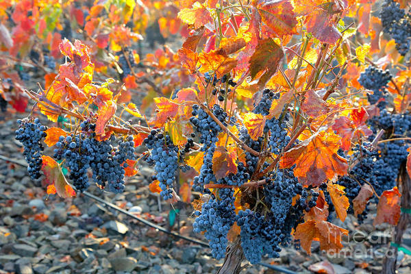 Wall Art - Photograph - Autumn Vineyard Sunlight by Carol Groenen