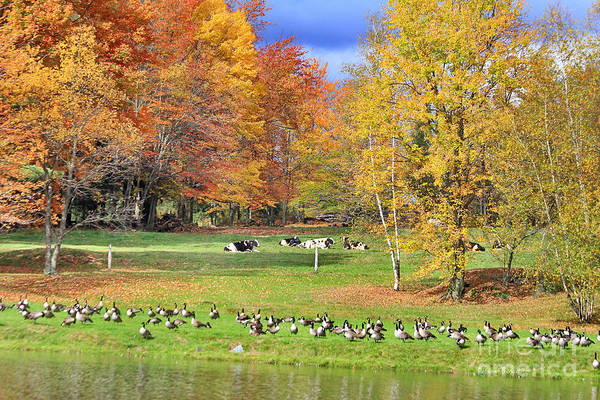 Photograph - Autumn With The Geese And Cows by Deborah Benoit