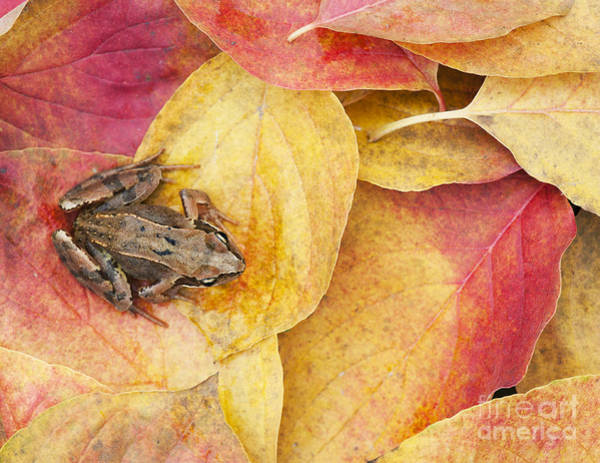 Golden Eye Photograph - Autumnal Frog by Tim Gainey