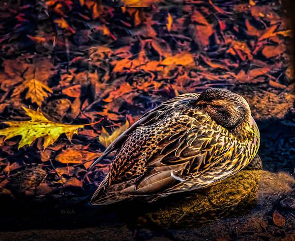 Photograph - Autumns Sleepy Duck by Bob Orsillo