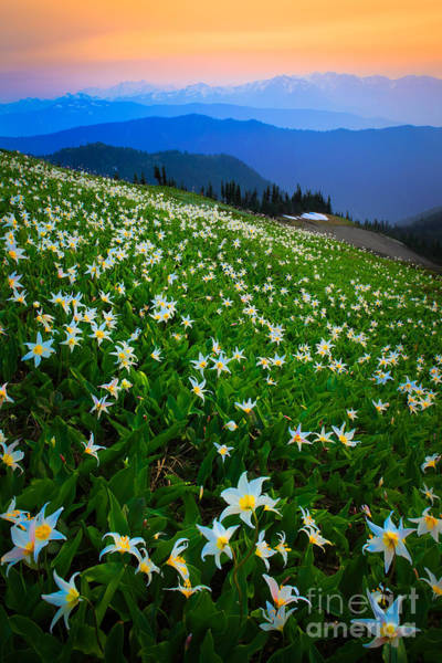Olympic Peninsula Photograph - Avalanche Lily Field by Inge Johnsson