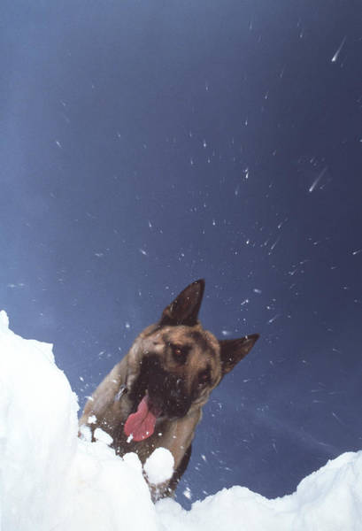 Dog Training Photograph - Avalanche Rescue by Mauro Fermariello/science Photo Library
