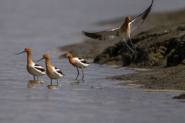 Alviso Photograph - Avocet Birds At Restored Salt Ponds by Peter Essick