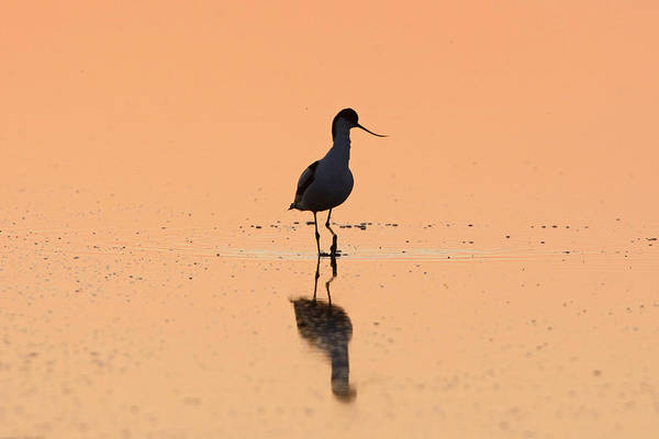 Wading Photograph - Avocet by David Tipling