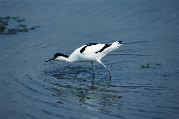 Wall Art - Photograph - Avocet by Leslie J Borg/science Photo Library