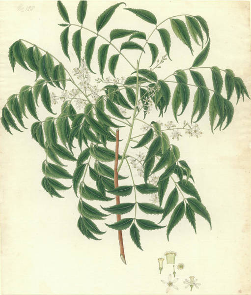 Dicot Wall Art - Photograph - Azadirachta Indica by Natural History Museum, London