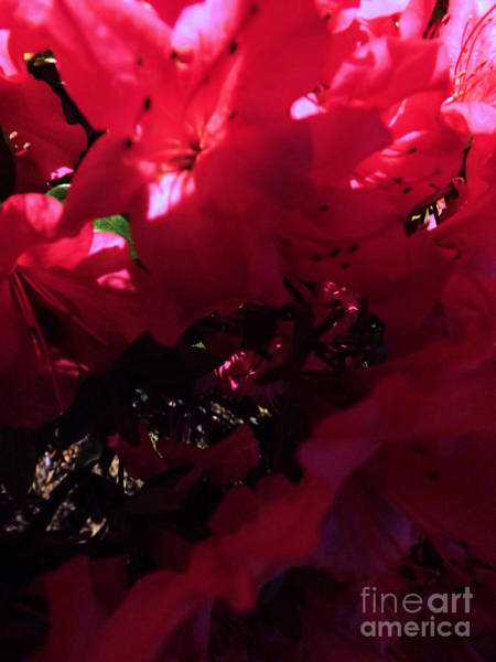Photograph - Azalea Abstract by Robyn King
