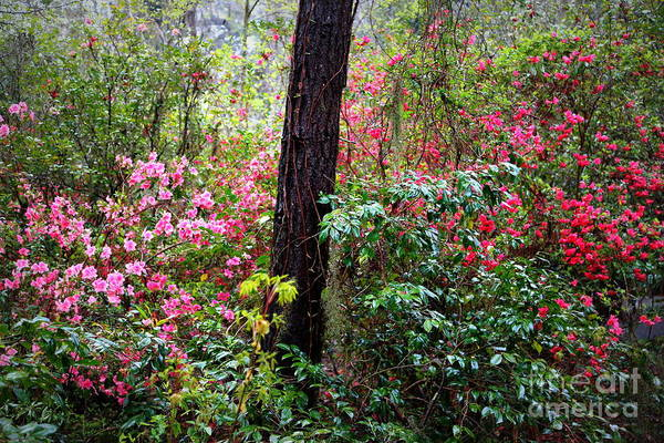 Photograph - Azalea Forest by Carol Groenen