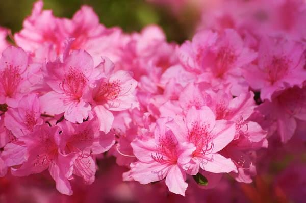 Hybrid Photograph - Azalea (rhododendron Hybrid) by Maria Mosolova/science Photo Library