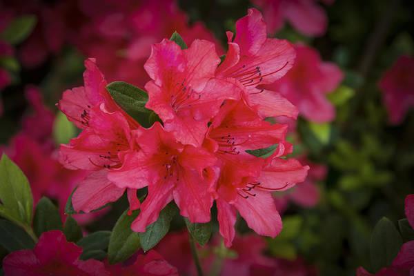 Photograph - Azaleas 1 by Penny Lisowski