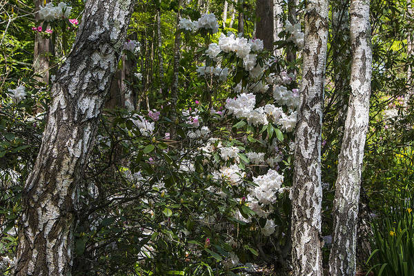 Photograph - Azaleas In The Trees by Garry Gay
