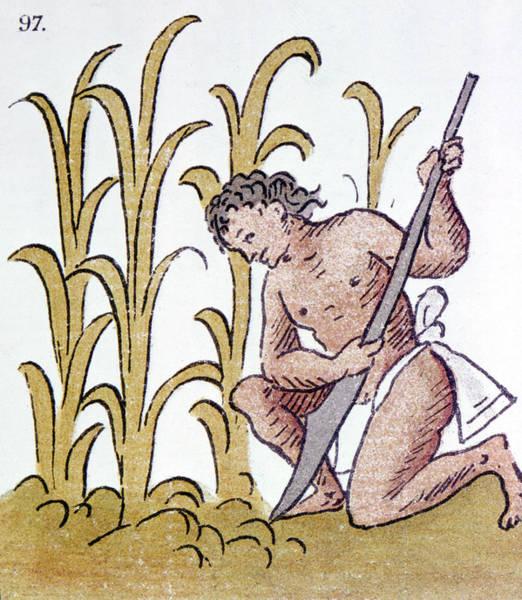 Indian Corn Drawing - Aztec Farming by Granger
