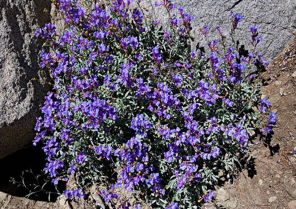 Donner Photograph - Azure Penstemon (penstemon Azureus) by Bob Gibbons/science Photo Library