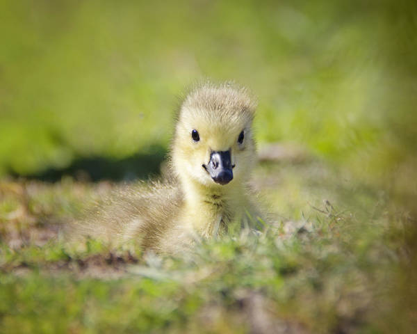 Goslings Wall Art - Photograph - Babe In The Grass by Vicki Jauron