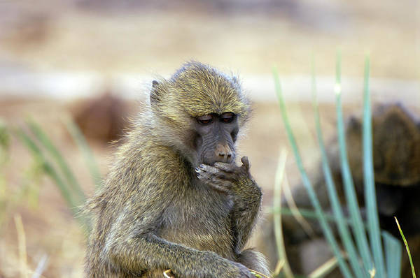 Baboons Photograph - Baboon by Dr P. Marazzi/science Photo Library