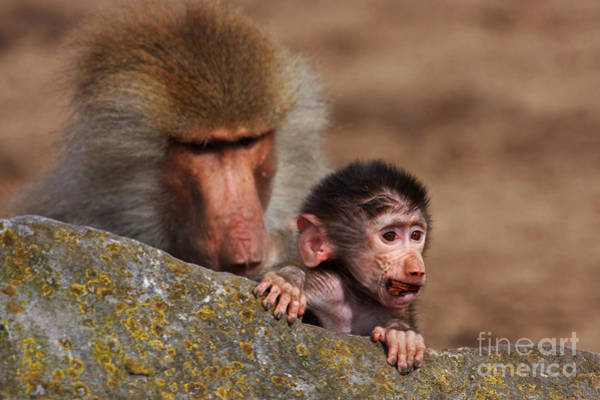 Photograph - Baboon With Baby Behind A Rock by Nick  Biemans