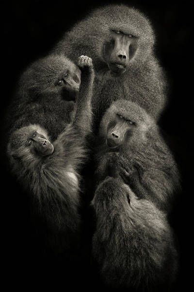 Wall Art - Photograph - Baboons  United  by Mario Moreno