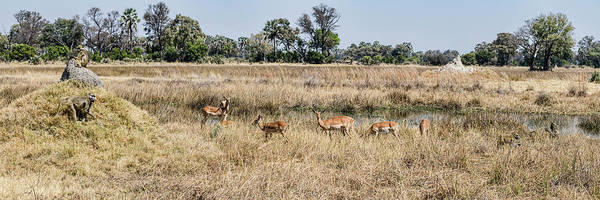 Okavango Delta Photograph - Baboons And Impalas Aepyceros Melampus by Panoramic Images