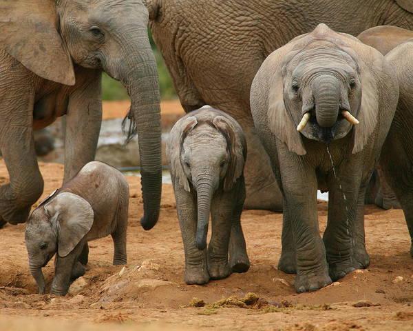 Wall Art - Photograph - Baby African Elephants II by Bruce J Robinson