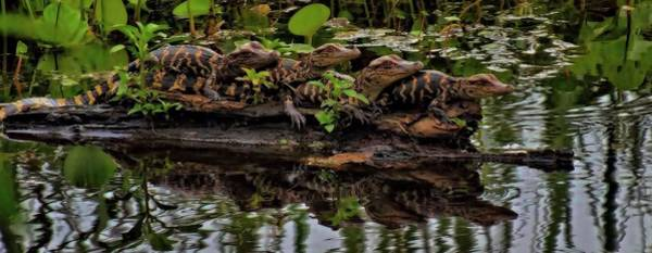Brazos Bend State Park Wall Art - Photograph - Baby Alligators Reflection by Dan Sproul