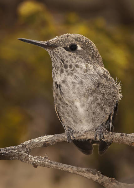 Photograph - Baby Anna's Hummingbird by Lee Kirchhevel