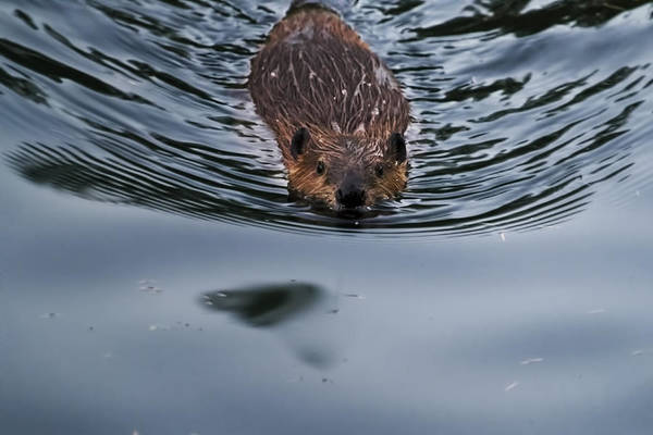 Photograph - Baby Beaver by Belinda Greb