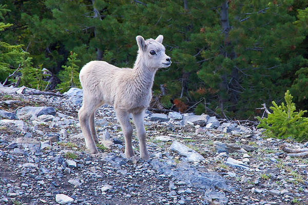 Photograph - Baby Big Horn Sheep by Stuart Litoff