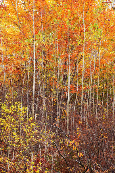 Photograph - Baby Birches by Leda Robertson