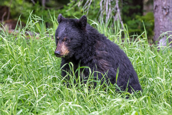 Photograph - Baby Black Bear by Pierre Leclerc Photography