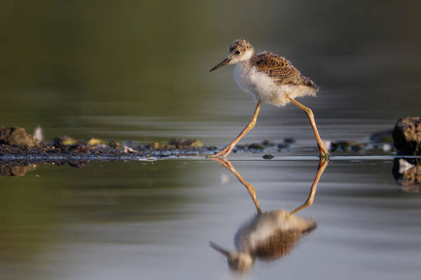 Marching Photograph - Baby Black-necked Stilt by Mallardg500