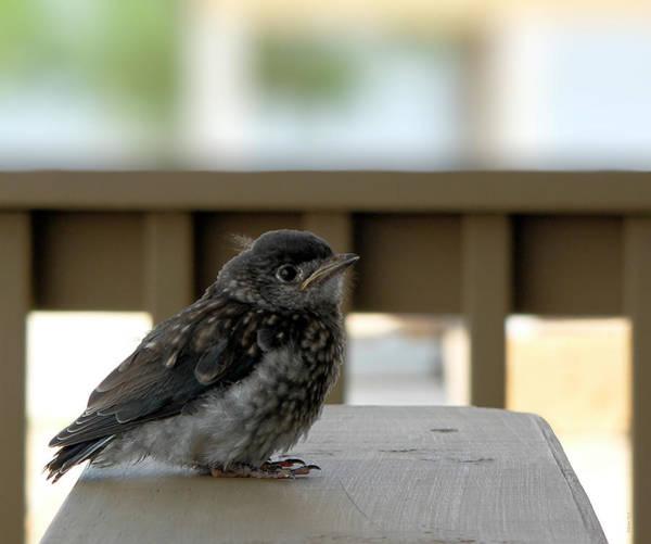 Photograph - Baby Bluebird Resting by Kathy K McClellan