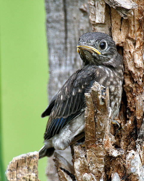 Photograph - Baby Bluebird by William Selander