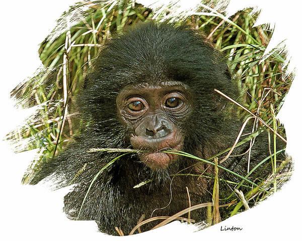 Digital Art - Baby Bonobo 2 by Larry Linton