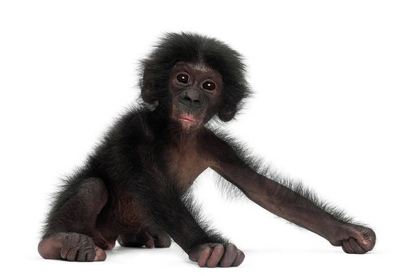 Bonobos Photograph - Baby Bonobo - Pan Paniscus 4 Months Old by Life On White