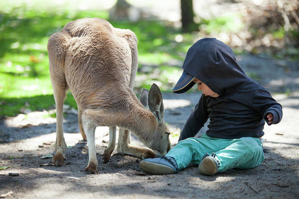 Petting Zoo Photograph - Baby Boy Feeding Kangaroo, Perth Zoo by Christopher Kimmel