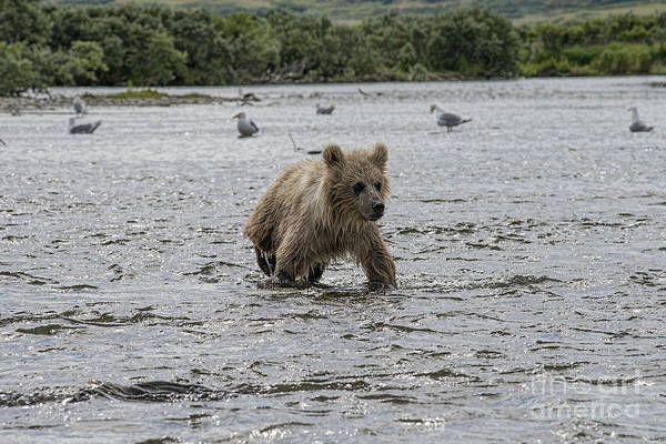 Photograph - Baby Brown Bear Cub In Water by Dan Friend