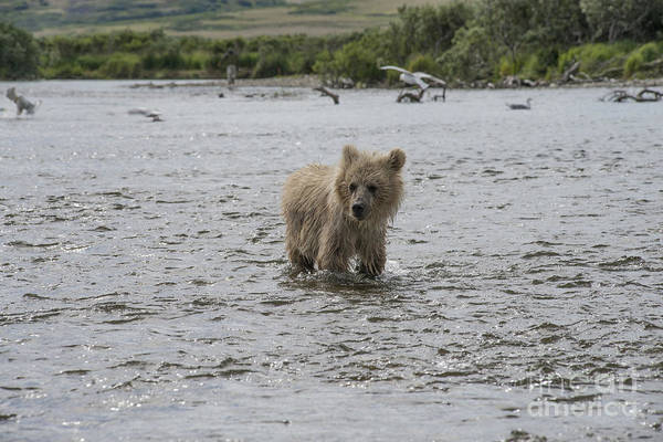 Photograph - Baby Brown Bear Cub Lookiing Around While Standing In Water by Dan Friend