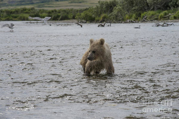 Photograph - Baby Brown Bear Cub Looking At Fish In Water by Dan Friend