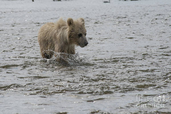 Photograph - Baby Brown Bear Cub Splashing His Way Upstream by Dan Friend