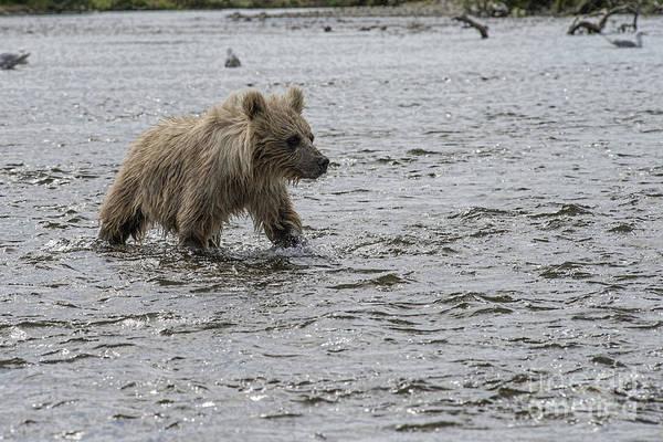 Photograph - Baby Brown Bear Cub Walking In Water by Dan Friend