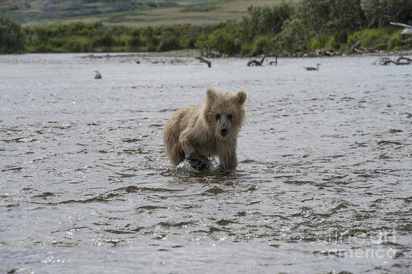 Photograph - Baby Brown Bear Cub Walking Upstream by Dan Friend