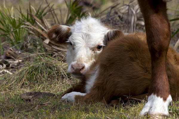 Photograph - Baby Calf Photo by Meg Rousher