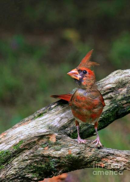 Photograph - Baby Cardinal by Sabrina L Ryan