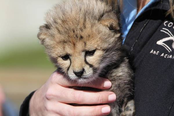 Photograph - Baby Cheetah At Columbus Zoo by Dan Sproul
