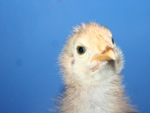 Baby Chicken Art Print by Carolyn Reinhart