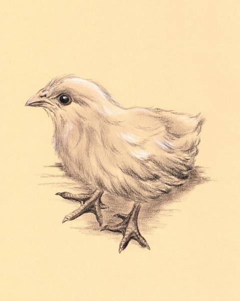 Drawing - Baby Chicken by MM Anderson