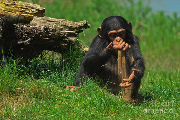 Photograph - Baby Chimp Playing With Sand by Nick  Biemans