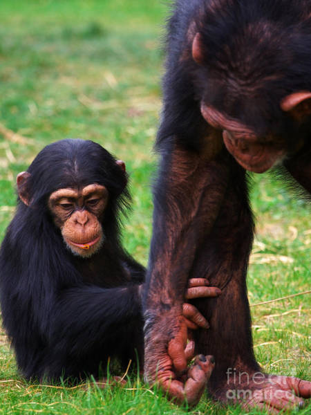 Photograph - Baby Chimp With Mother by Nick  Biemans