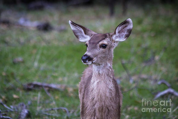 Photograph - Baby Deer by Vincent Bonafede